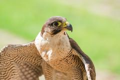 Small and fastest raptor bird peregrine or accipiter Stock Photos
