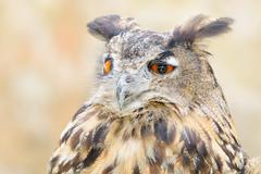 Stock Photo of bubo or eagle-owl bird quiet night hunter