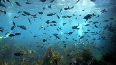 Scuba divers explore underwater kelp forest Stock Footage