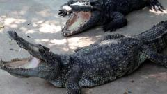 Big crocodiles with open mouth Stock Footage