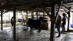 Preparing a cow for slaughter. Eid Adha, Qurban, Kurban Stock Footage