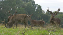 Four Deer grazing Stock Footage