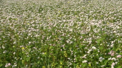 Beautiful buckwheat blossoming field in summer Stock Footage