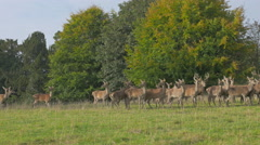 Herd of Deer running in the field Stock Footage
