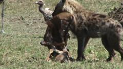 Stock Video Footage of hyena takes away a kill from vultures