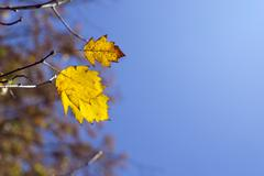 Yellow autumn leaves on a branch Stock Photos
