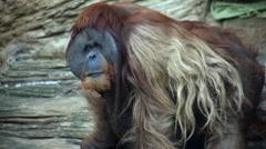 Closeup portrait of an orangutan male. Stock Footage