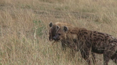 Hyenas strngthening their teeth by using tree Stock Footage