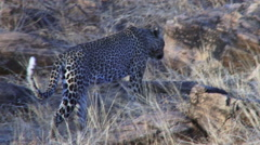 Leopard walking on the rocks Stock Footage