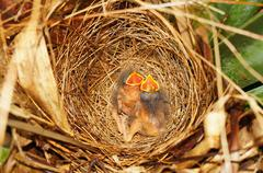 Two hungry chicks of flycatcher bird in the nest Stock Photos