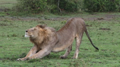 Lion stretching himself Stock Footage
