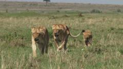 lioness walks with her cubs - stock footage