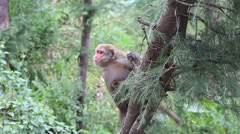 Macaque monkey on a tree in nature, India. Stock Footage