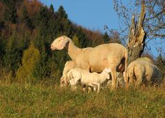 Mother sheep breastfeeding her lamb in the midst of the flock in the mountain Stock Photos