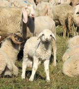 Young lamb in the midst of the large flock of sheep and goats Stock Photos