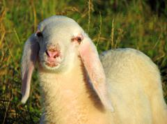 Young lamb with the soft white wool on the lawn in the mountains Stock Photos