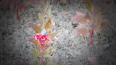 Plumed pink cockscomb flower Stock Footage