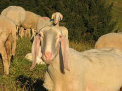 Stock Photo of snout of sheep in the middle of the herd grazing in the mountains