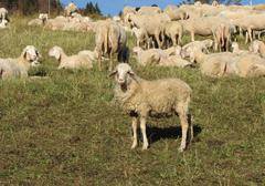 Sheep lamb along with the other large sheep flock Stock Photos