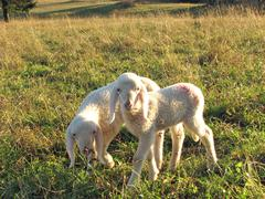 Two little lambs with soft, white fur Stock Photos