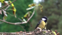 Great tit - slow motion Stock Footage