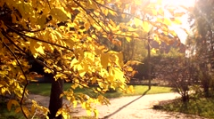 Autumn yellow leaves on the tree in the Park Stock Footage
