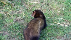 Polecat scent marking Stock Footage