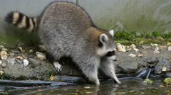 4K UHD North american raccoon (procyon lotor) washing his paws in  garden pond - stock footage