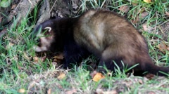 Polecat foraging for food Stock Footage