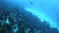 Fish on California Reef Stock Footage