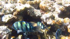 Sergeant major fish underwater Stock Footage