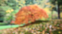Out of Focus Blurred Background Red Laced Maple Tree with Leaves in Autumn 1080p Stock Footage