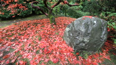 Falling Red Laced Maple Leaves Fall Season on a Breezy Day in  Japanese Garden Stock Footage