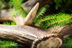 Antlers surrounded by spruce Stock Photos