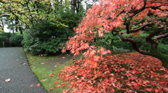Red Laced Maple Tree in Autumn Season in Portland Japanese Garden Stock Footage