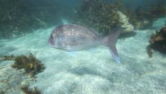 Snapper swimming amongst seaweed at Goat Island Stock Footage
