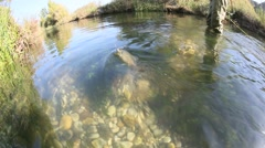 Closeup of fario trout being caught in river Stock Footage