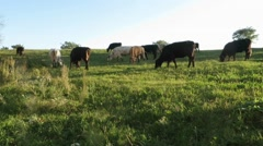 Cows grazing in a meadow at the Caffarella public park, Rome Stock Footage