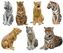 Collection of  big cat (panthera) Stock Photos