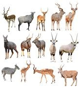 Male antilope isolated Stock Photos