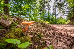 wild mushroom in the forest near the path - stock photo