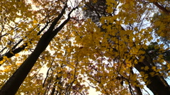 Yellow autumn maple forest - stock footage