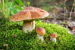 Wild noble mushrooms in forest Stock Photos