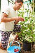 Man harvesting home grown tomatoes in greenhouse Stock Photos