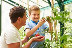 Father and son harvesting home grown tomatoes in greenhouse Stock Photos