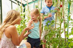 Mother and children harvesting tomatoes in greenhouse Stock Photos