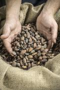 hand holds cocoa beans - stock photo