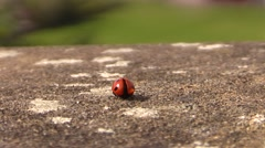 Ladybug walking alone on the stone .. then fly Stock Footage