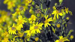 Bees collect honey on the yellow flowers Stock Footage