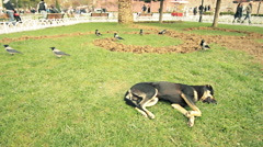 Sleeping street, urban, stray, black dog and walking crows, public garden, grass Stock Footage